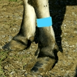 Cattle Leg Bands - Blue