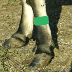 Cattle Leg Bands - Green