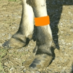 Cattle Leg Bands - Orange