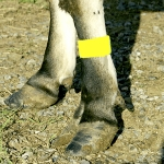 Cattle Leg Bands - Yellow