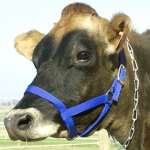 Cow Halter - Cow Blue