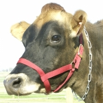 Cow Halter - Cow Red