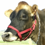 Cow Halter - Yearling Red