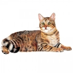 Exotic Cat Jumbo Magnet