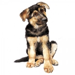 German Shepherd Puppy Jumbo Dog Magnet